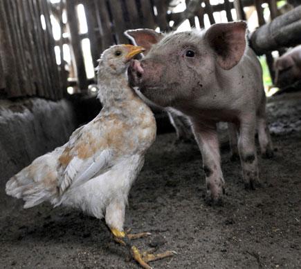 chicken-pig